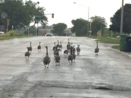 Duck walking on the street. Photo courtesy of Ray Hanania