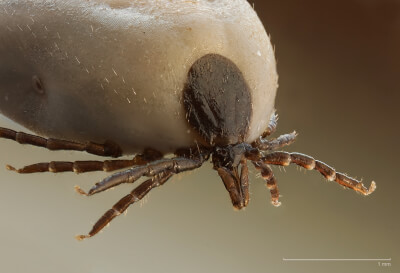 Ixodus ricinus Tick, photo courtesy of Wikipedia. Ticks, Tick, health