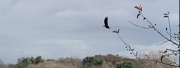 American Bald Eagle over Candlewick Lake. Photo courtesy of Ray Hanania